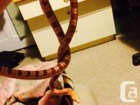 Albino corn snake approx 4-5 years of ages very
