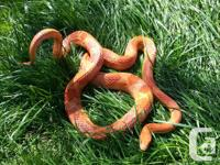 Sweet, outgoing adult amel/albino corn snake. Would