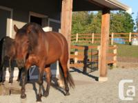 Beautiful bay gelding, 16 hh . Imported from IALHA