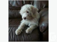 We have 1 male Apricot Labradoodle puppy left ready to