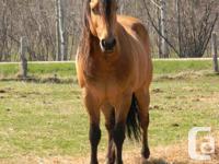 Registered AQHA stallion.