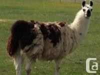 I have an Arabian Mix, Miniature horses and Llama that