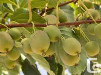 Kiwi Hardy Kiwi (Actinidia arguta) highly shade