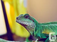 I am desperate to find my 3 Chinese Water Dragons a new
