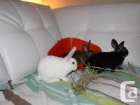 Hello here are 2 beautiful little mini rex female for