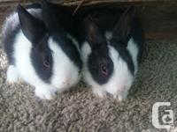Two beautiful bunnies available for pet homes one girl