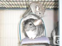 2 baby girl chinchillas for sale.Asking $90.00 each(pet