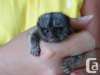 We have girl and boy pygmy marmoset monkeys available,