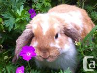 Nine Gables Rabbitry One Beautiful, 3 month old, male,