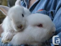 Flemish /English spotted and Lionhead & dwarf crosses 4