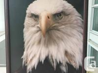 Gorgeous Bald Eagle Head with a very serious stare