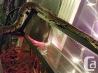 This guy is a great pet! Very docile, handled often,