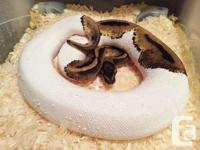 Pied round pythons, Women as well as male offered and