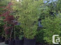 We have several varieties of bamboo: golden, black and
