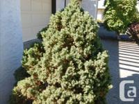 We have a gorgeous miniature pine (not sure what its
