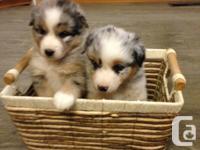 Beautiful AustralianShepherd puppies, 4 blue
