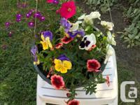 Beautiful Summer Hanging Baskets - $24.00 each -locally