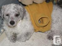 Gray/ black and white unfixed male bichon dog mix