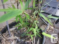 Black bamboo in 7 gall pots . Price is $75 per pot. Now
