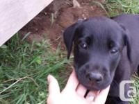 I have a purebred male black laboratory new puppy up