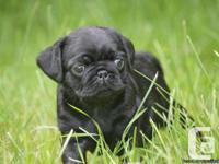 Beautiful black guy and female pug puppies to be pet