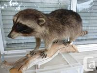 taxidermy: whole body raccoon placed on log in great