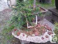 Large selection of Bonsai, from smaller to larger