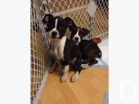 I HAVE 2 BEAUTIFUL BOXER'S PUPPIES I HAVE 2 FEMALE $450