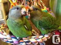 Now handfeeding two brown head parrots. One currently