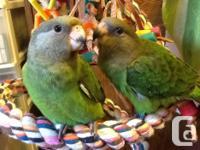 Now handfeeding 2 brownish head parrots. One already