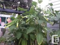 I have several pots of Brugmansia for sale , small pots