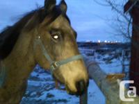 10 year old buckskin mare, 15hh, 1200 pounds,