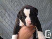 4 beautilful pups left. 1male 3 ladies. . White and