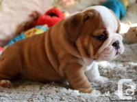 AKC Registered Beautiful English Bulldog Young