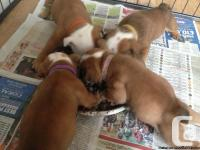 ADORABLE English Bulldog Puppies For Sale, READY TO GO