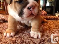 3 male English bulldog puppies will await brand-new