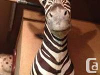 BURCHELLS ZEBRA-shoulder mount with good taxidermy and