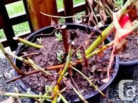 California Tree Poppies (Romneya Coulteri). Bloom June