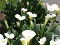 Beautiful calla lilies in 3 gal pots. Well established