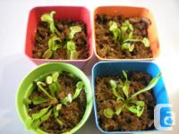 Selling Venus Flytraps in a beginner containers for