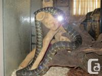 Carpet python for sale about 3yrs old. Has never