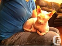 CFA Sphynx stud for sale. Proven with dozens and dozens