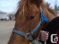 exceptionally quiet 8 year old quarter horse, chestnut,
