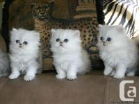 We are marketing one cosy White girl teacup Persian