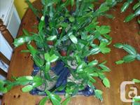 Have several Christmas Cactus for sale! 4 inch are $5