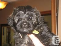 We are expecting another litter of beautiful Bouvier