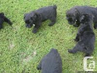 Beautiful Bouvier litter expected in a few weeks We are