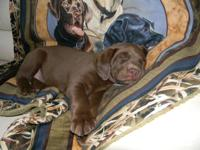Ready December 26th 5 MALES AVAILABLE Puppies from OFA
