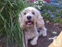 Toto, an 8 year old Cockapoo, is looking for a new