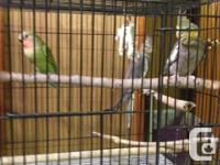 Hand raised cockatiels available for sale 2 females @
